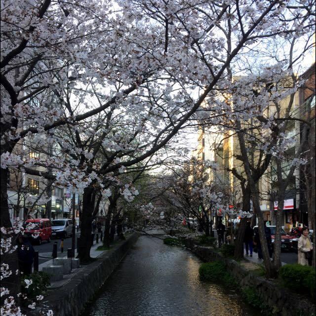 京都木屋町・高瀬川 桜