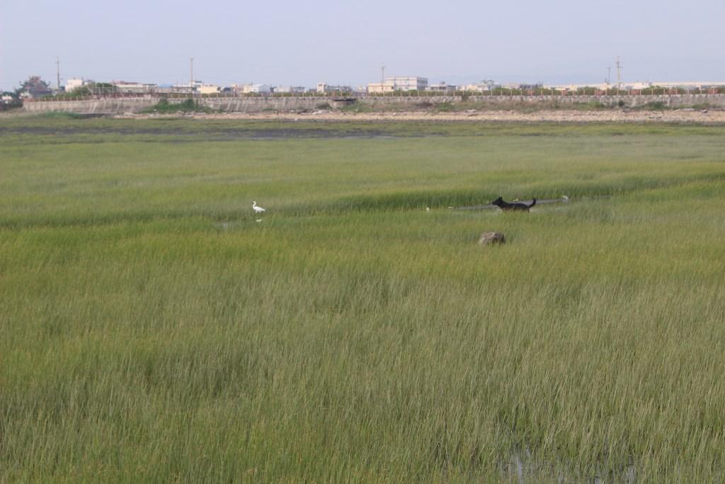 高美湿地 鳥と犬1