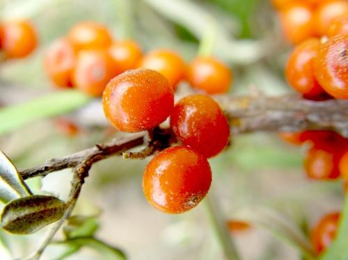 栄養バランスに優れ、理想的な果実とされるサジー