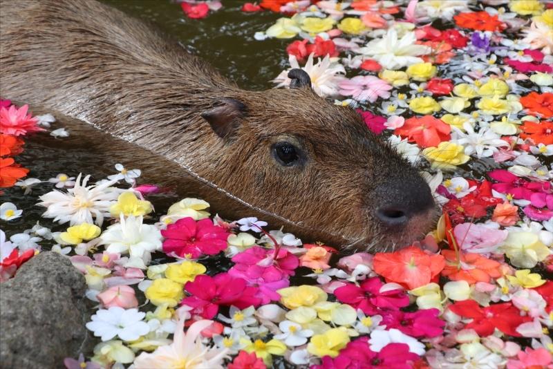 お風呂であったまる可愛いカピバラたちに癒される♪ 神戸・ポートアイランド『神戸どうぶつ王国』で今年も「カピバラスパ」開催!
