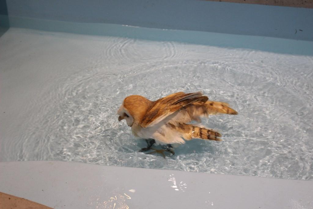 ふくろう水浴び