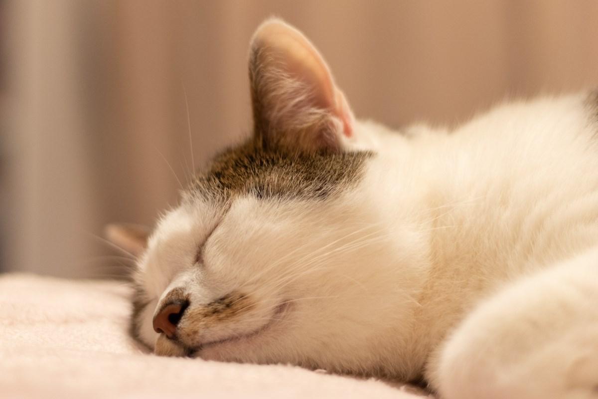 外出自粛で疲れたアナタを癒しまくる!『WEBねこにすと~ねこ寝っこ篇~』