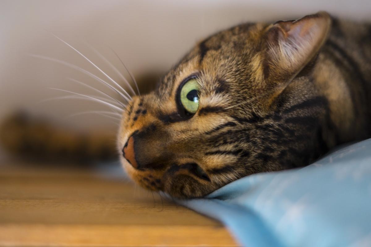 ひんやりグッズを使う猫