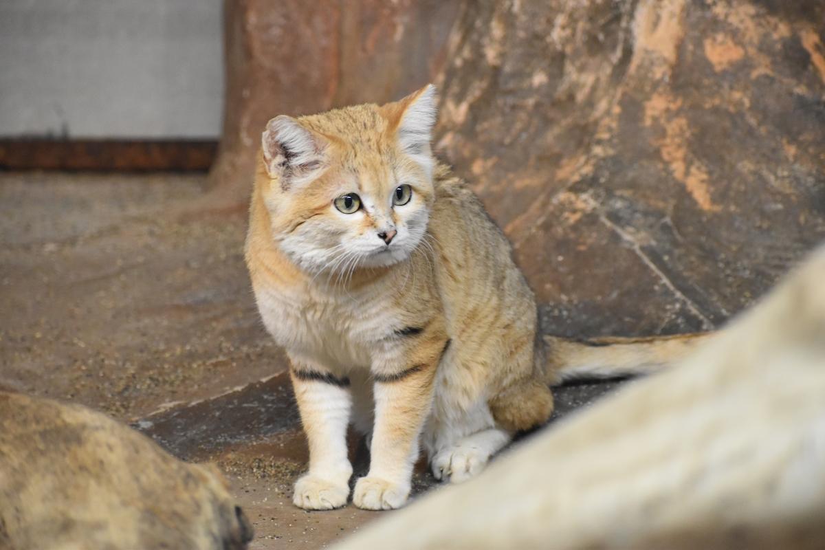 日本でも見られる?世界中の珍しい猫10選&会える場所をご紹介