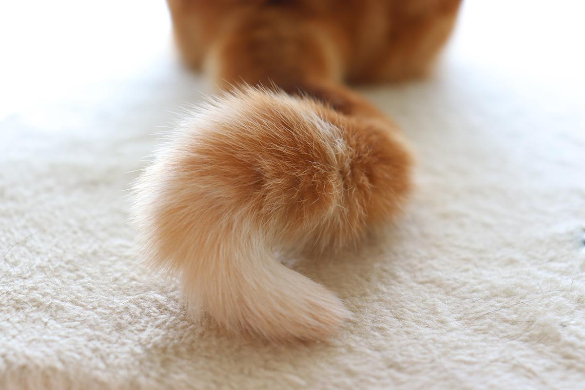【猫の気持ち】しっぽの動きから猫の感情を読み取ろう