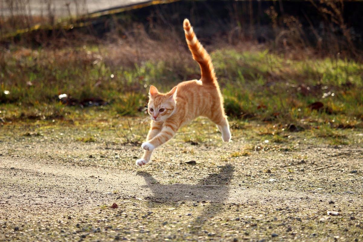 走ってくる猫