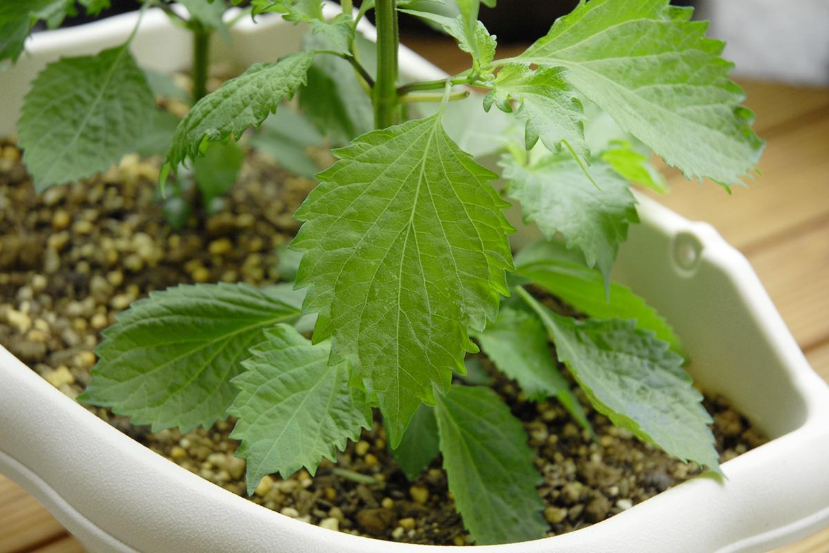 大葉の家庭菜園 プランター栽培