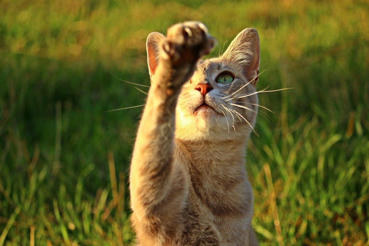 手をあげる猫