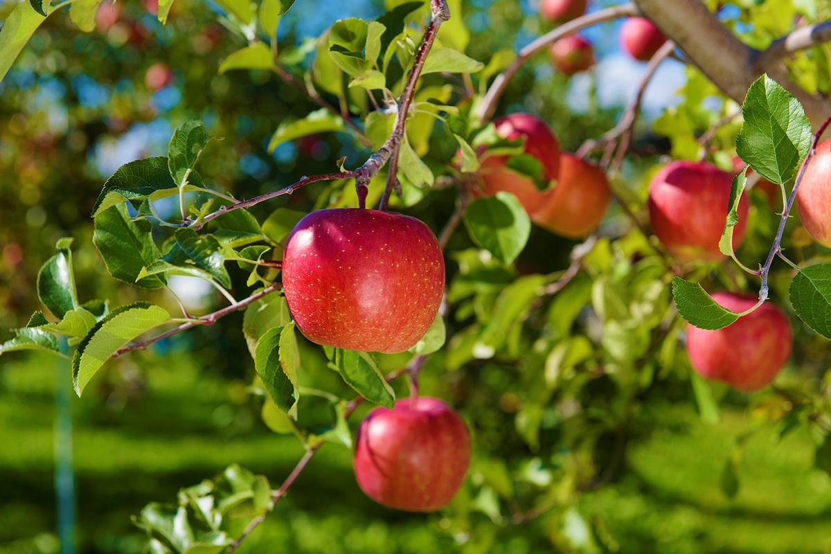青森りんごの収穫