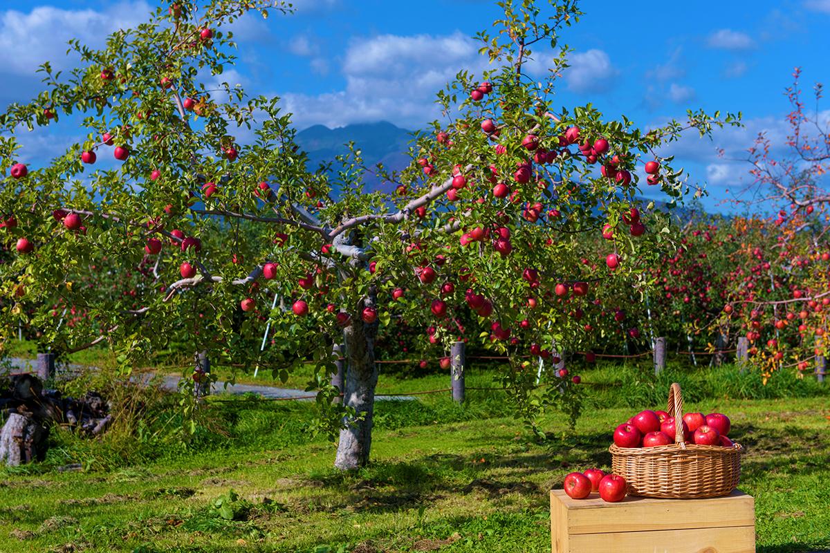 青森りんごの木