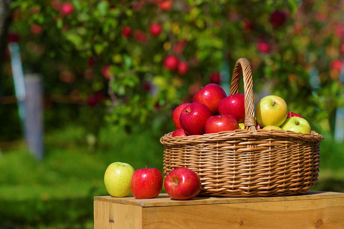 《青森りんご》とは?日本一のりんご王国・青森県で生産されるりんごの魅力