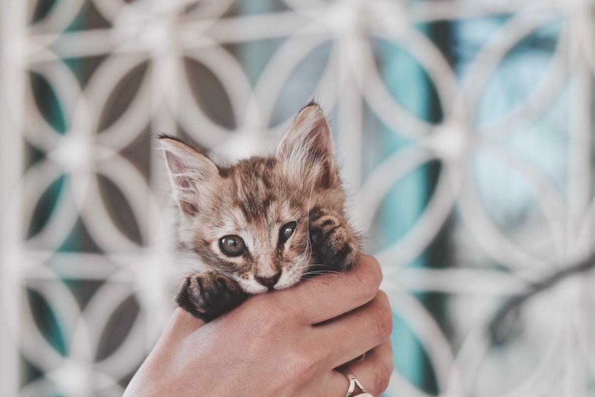 捕まえられた子猫