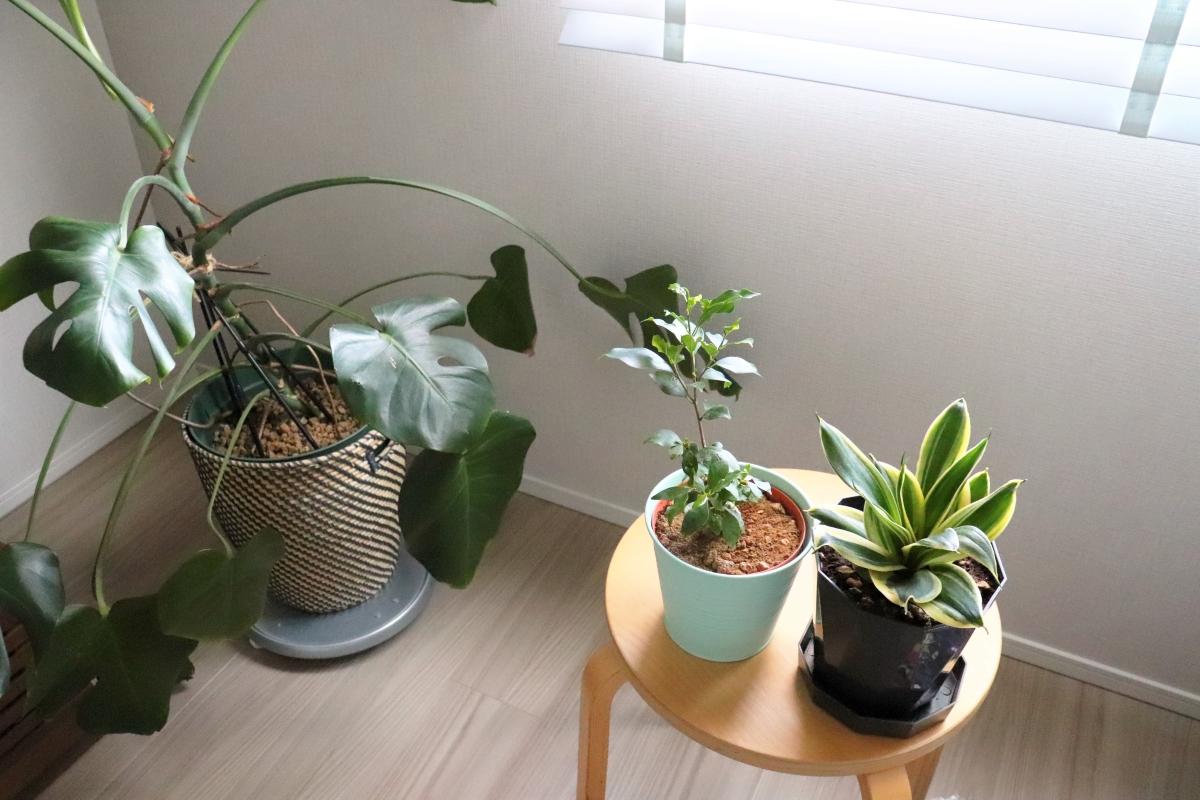【初心者でも簡単】100均観葉植物を育てるコツと「IKEA」の便利グッズ