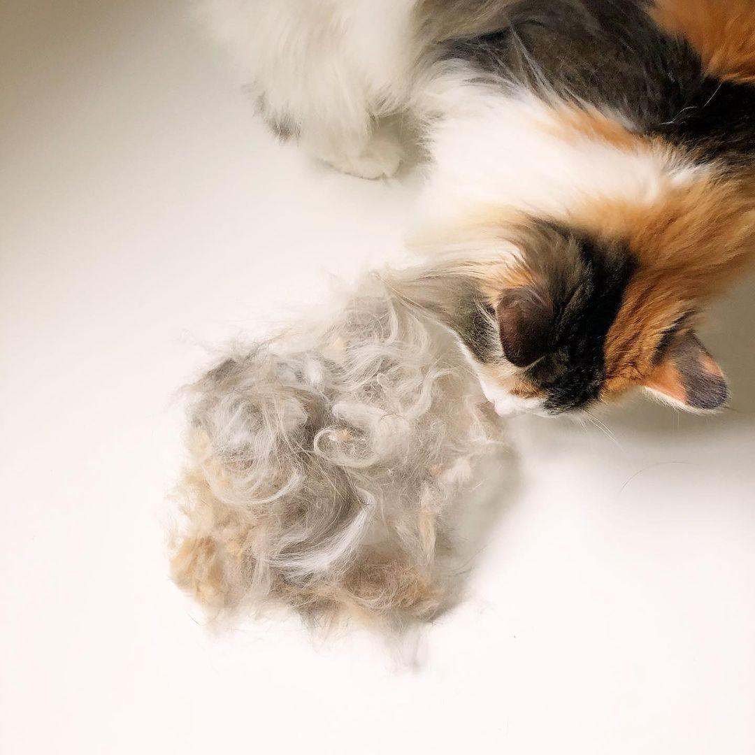 猫ちゃんと抜け毛の山盛り