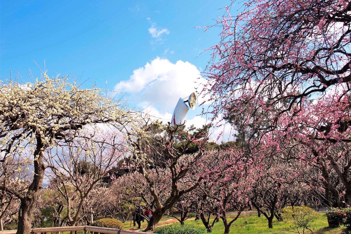 万博記念公園の梅