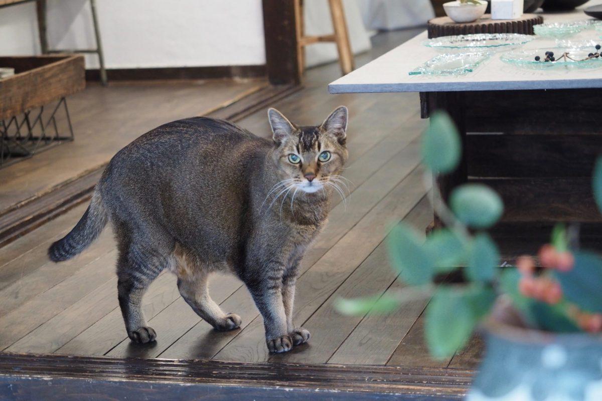 看板猫に会える!旅館やお店の看板猫ちゃんを紹介【大阪・京都】