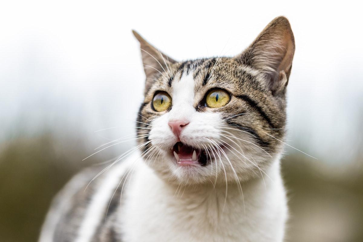 鳴き声を出す猫