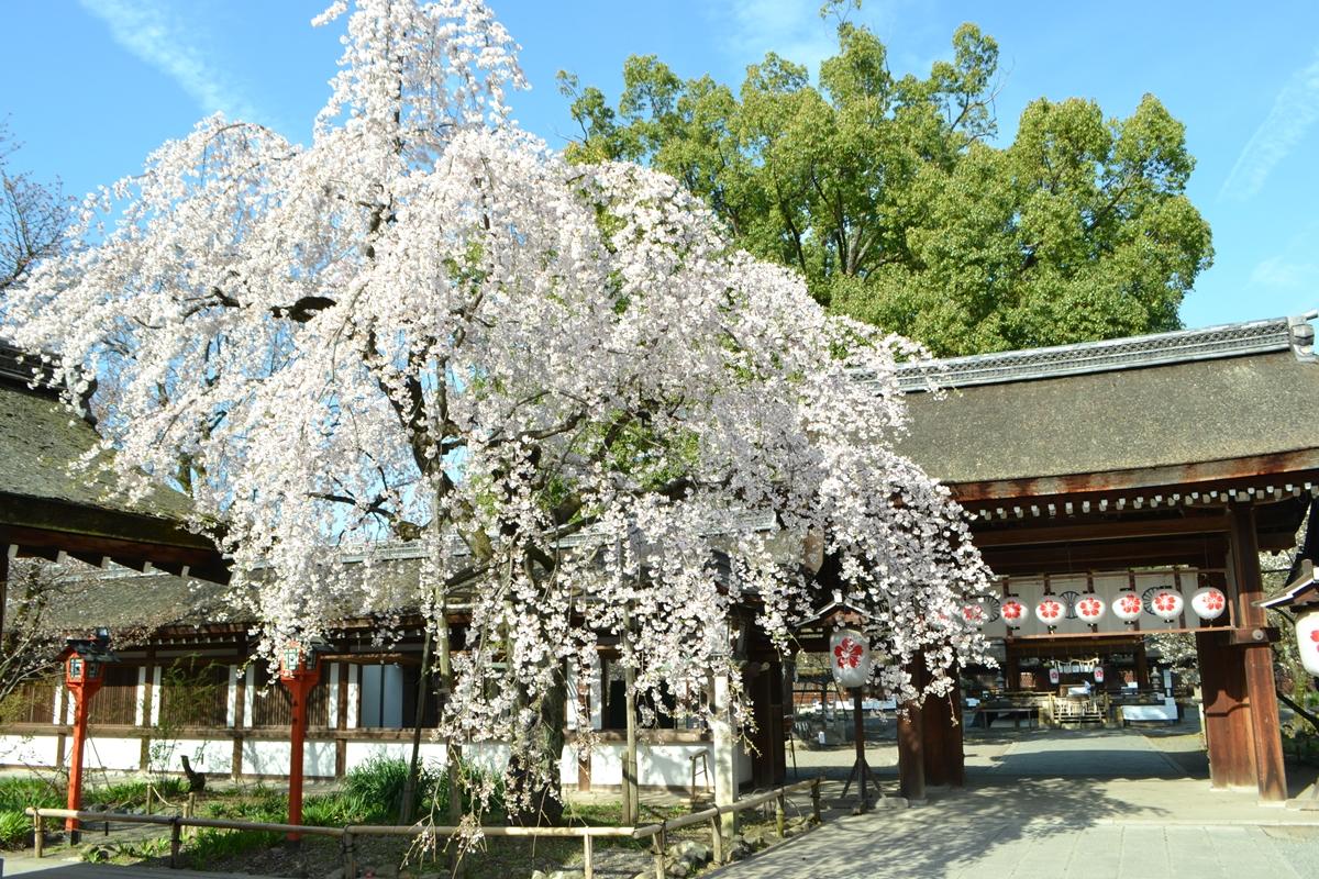 平野神社の魅桜