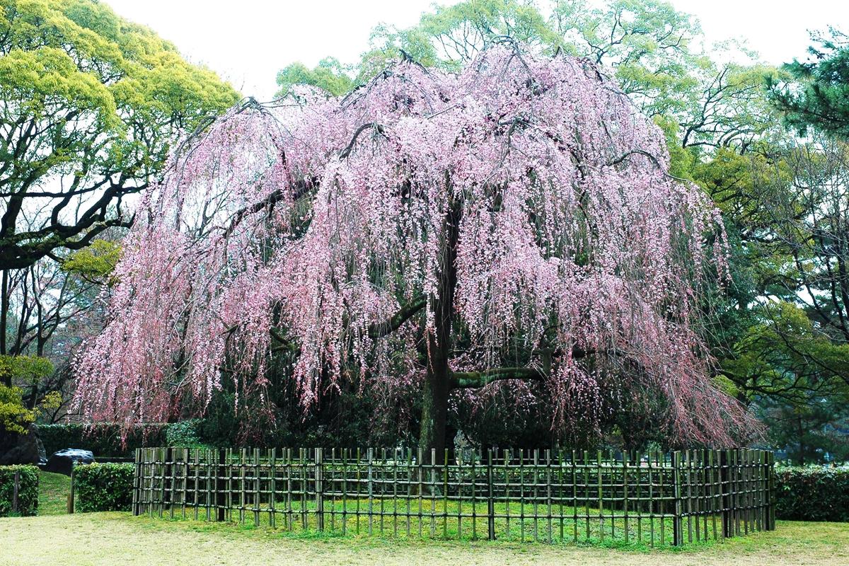 京都御苑の出水のしだれ桜