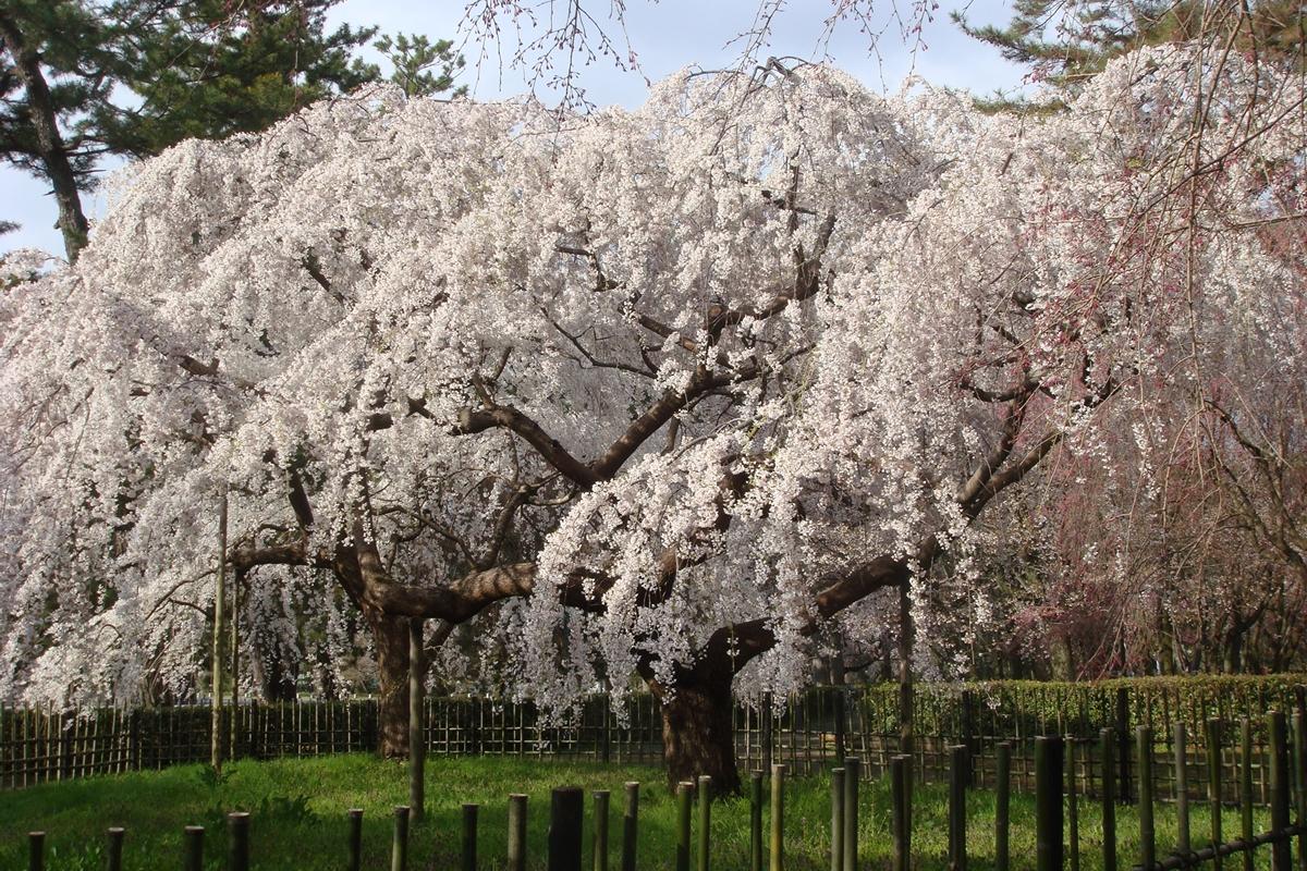 京都御苑の近衞邸跡のしだれ桜