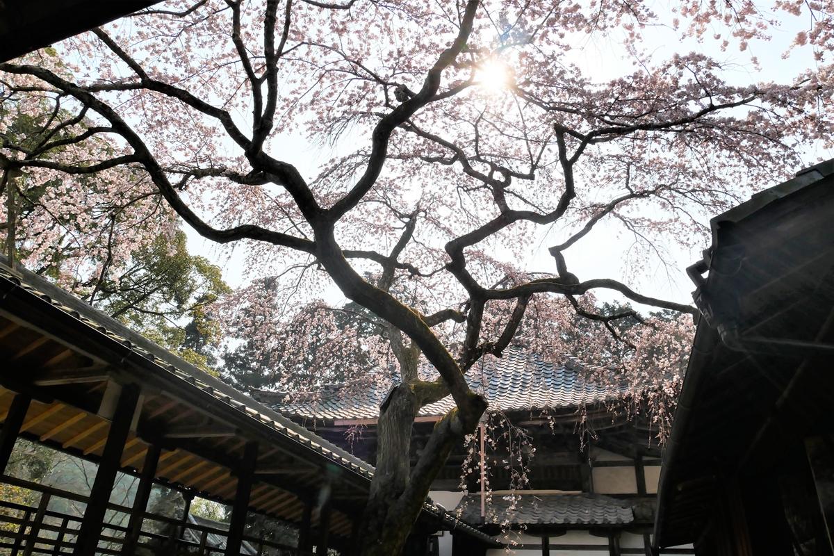 十輪寺のなりひら桜
