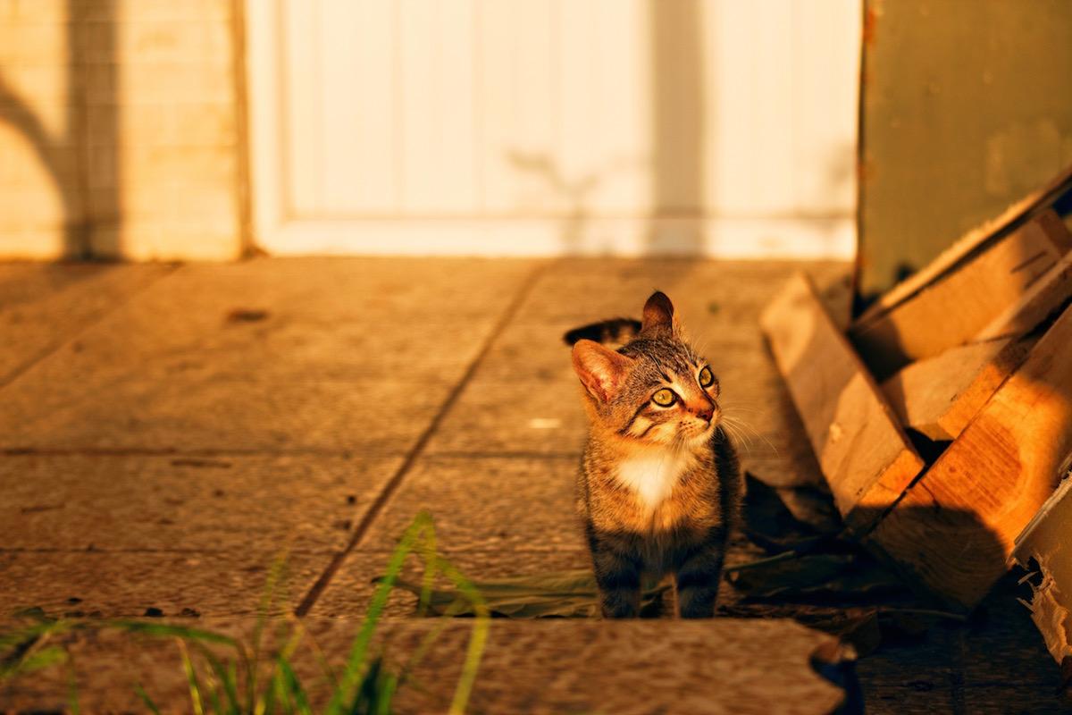 夕方に散歩する猫