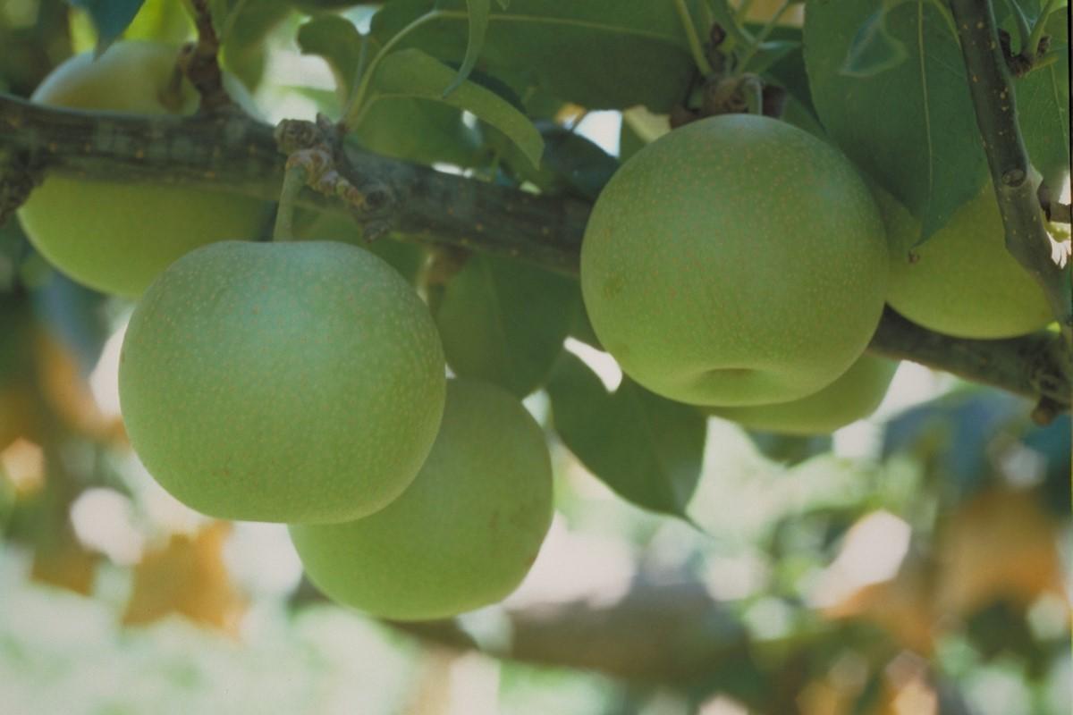 鳥取の名産二十世紀梨