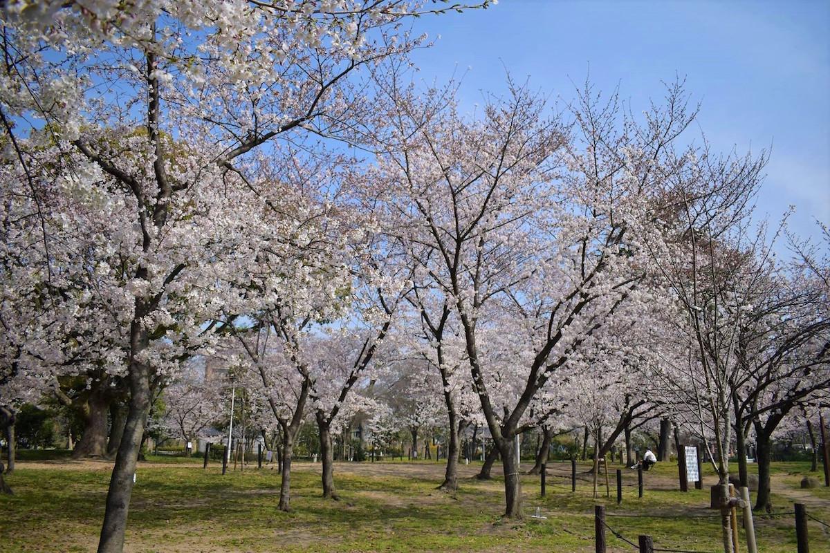 住吉公園の桜