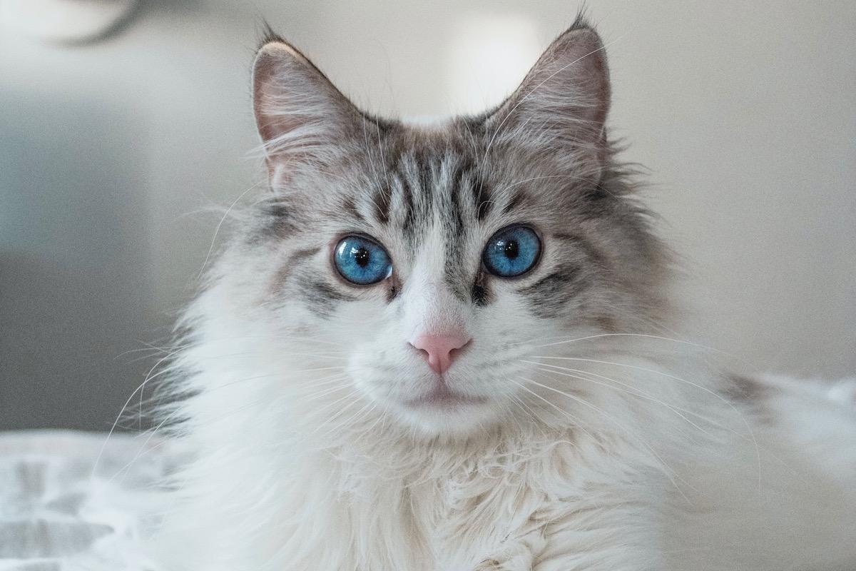 純血種の猫