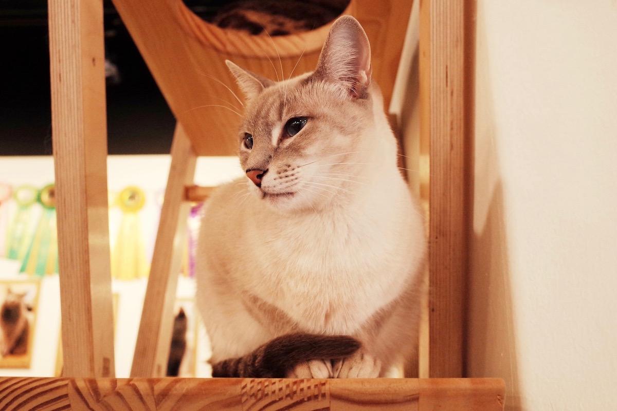 保護猫カフェの猫