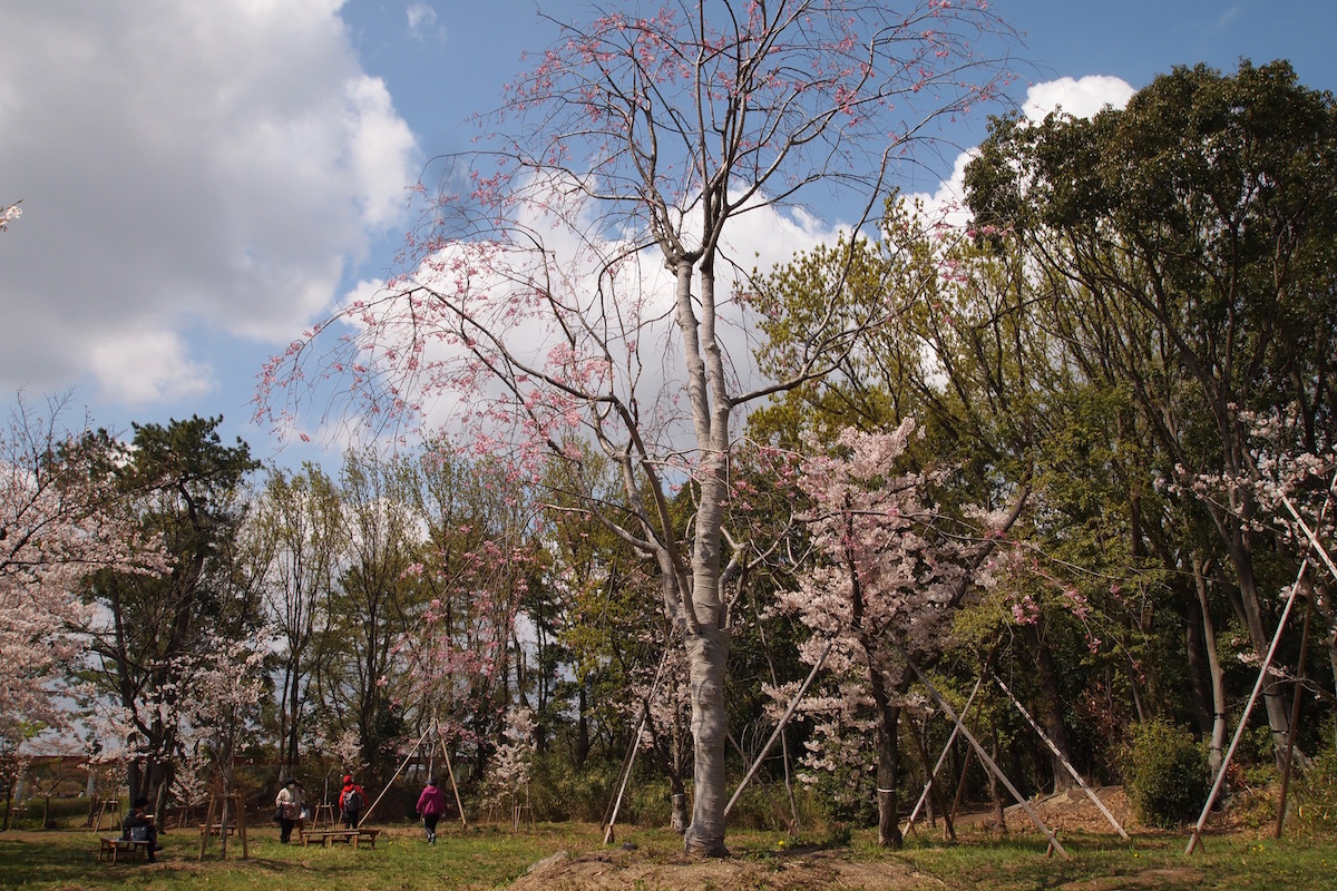 服部緑地の桜