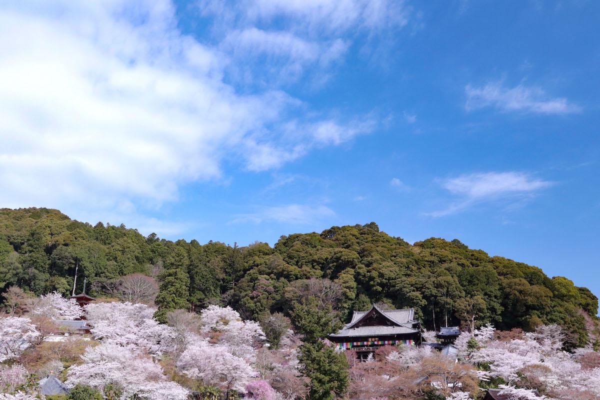 長谷寺の桜の遠景