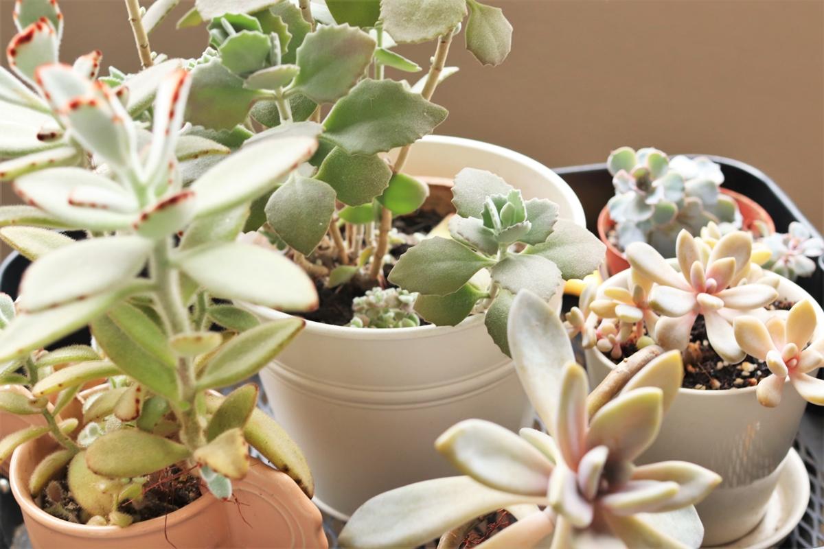 いろいろな品種の多肉植物