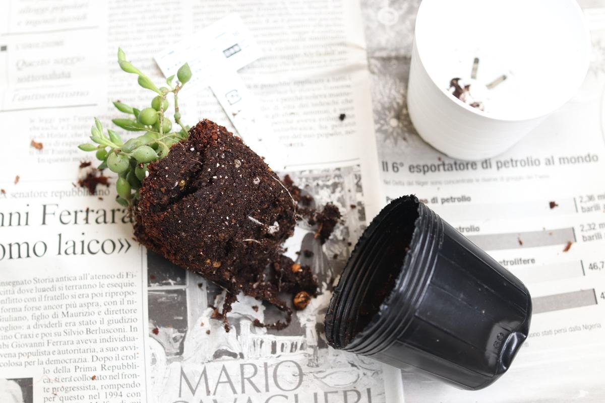 ビニールポットから取り出した多肉植物の苗