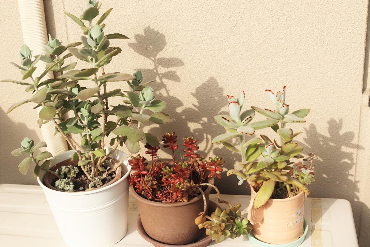 日光に当たった多肉植物