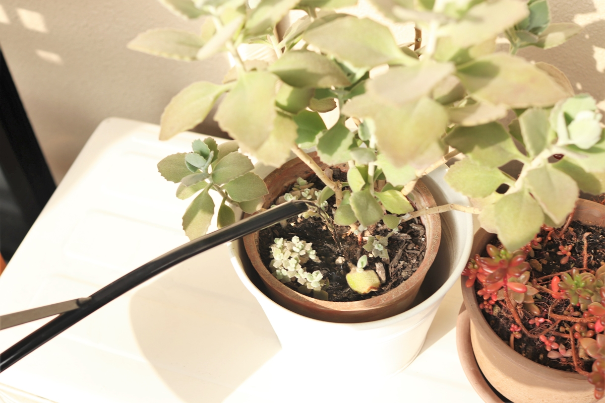 多肉植物に水やりする