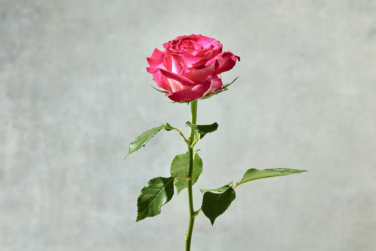 アフリカローズのバラ