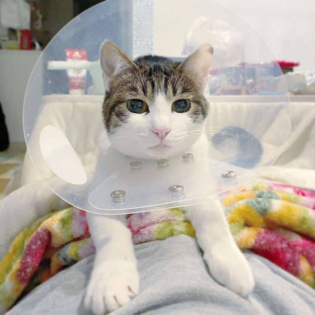 避妊手術をしている猫
