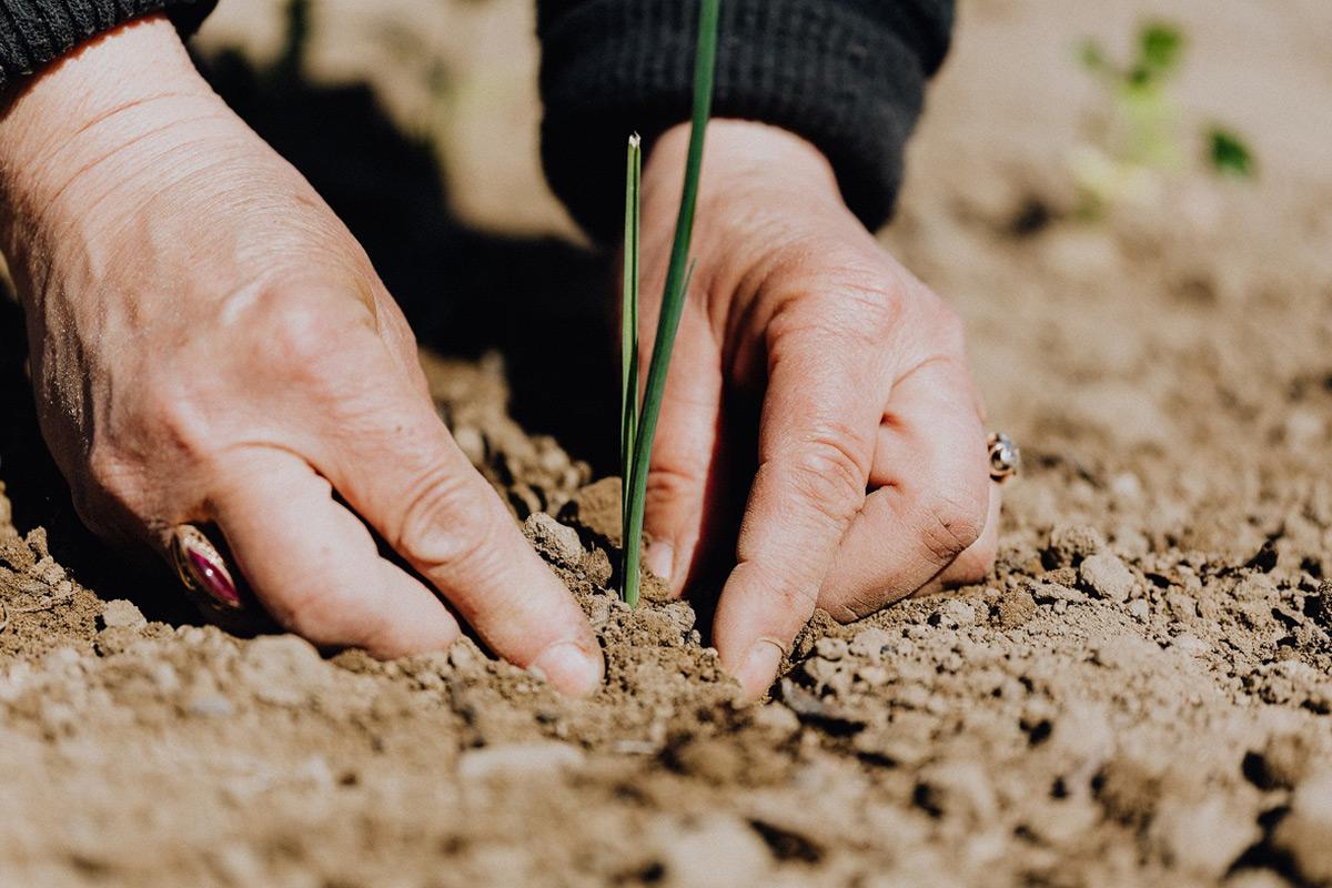 土に野菜を植えている手