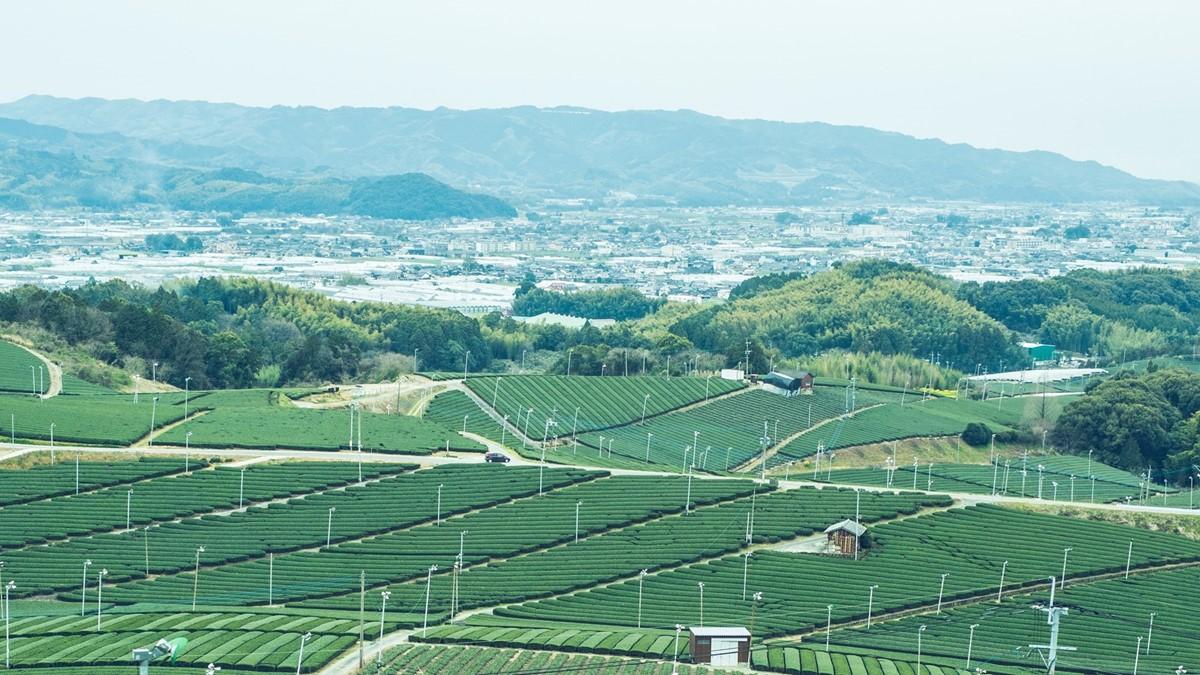 福岡県の八女茶の茶畑