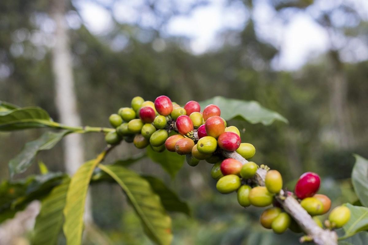 コーヒーノキに実るコーヒーチェリー