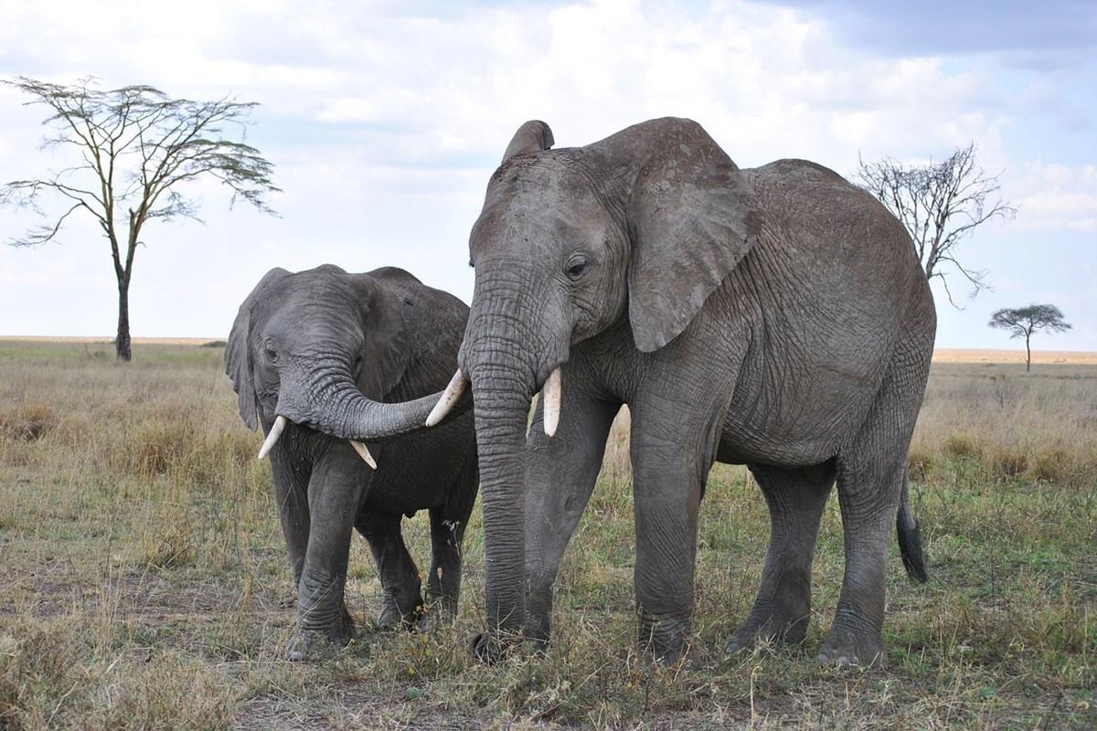 アフリカに生息するアフリカゾウ