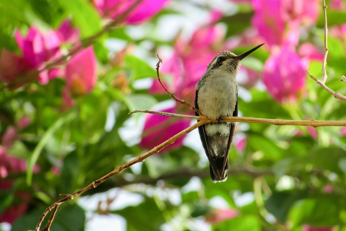 中南米に生息するハチドリ