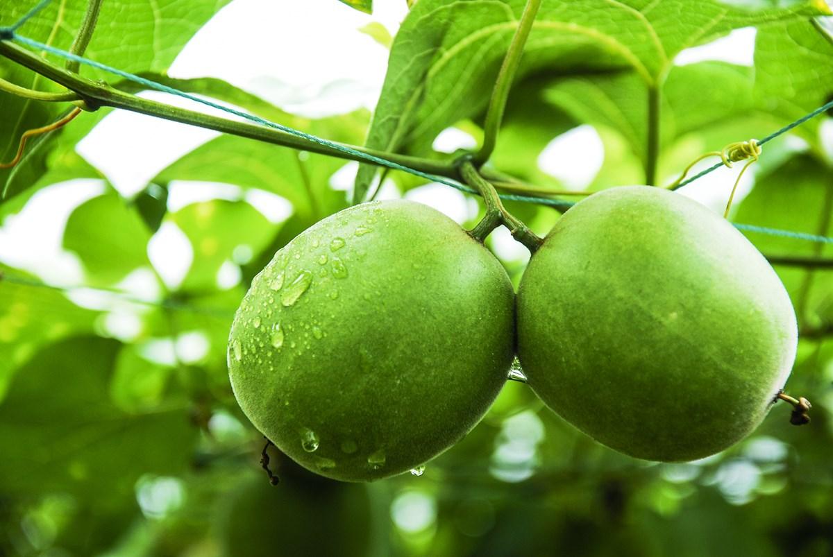 羅漢果の果実