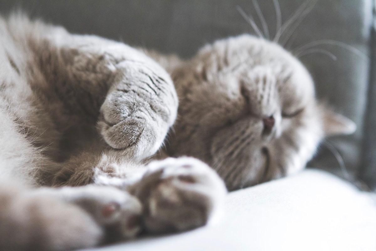 仰向きになる猫