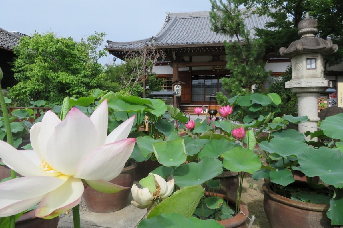 大蓮寺の大きな白い蓮