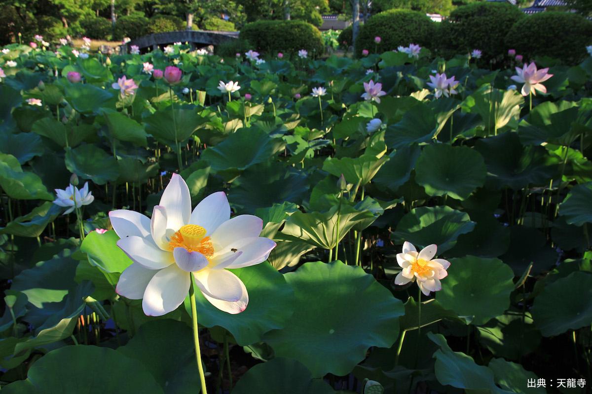 【京都】早起きして見に行こう!美しい蓮の花が見られる京都の神社仏閣5選