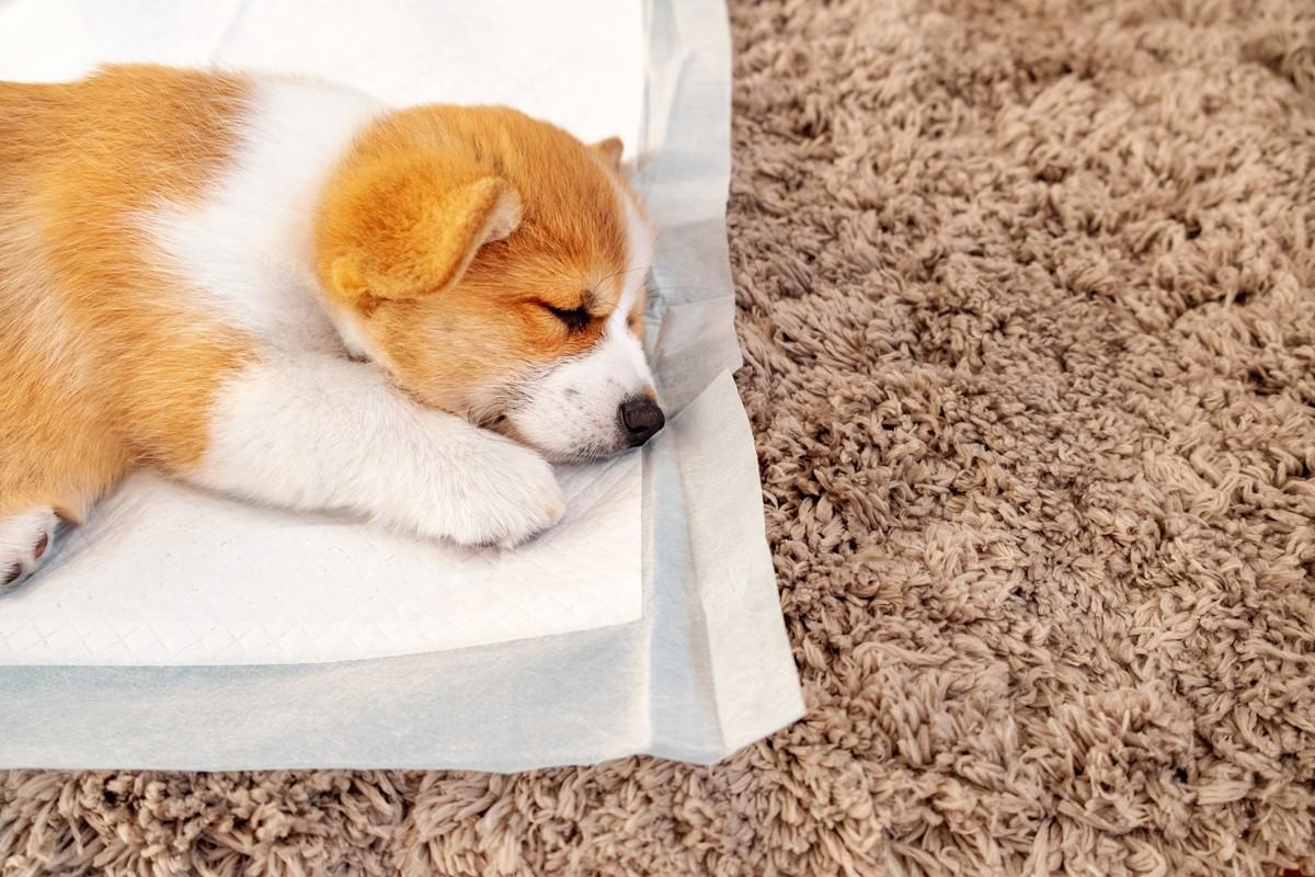 ペットシートの上で眠るコーギーの子犬
