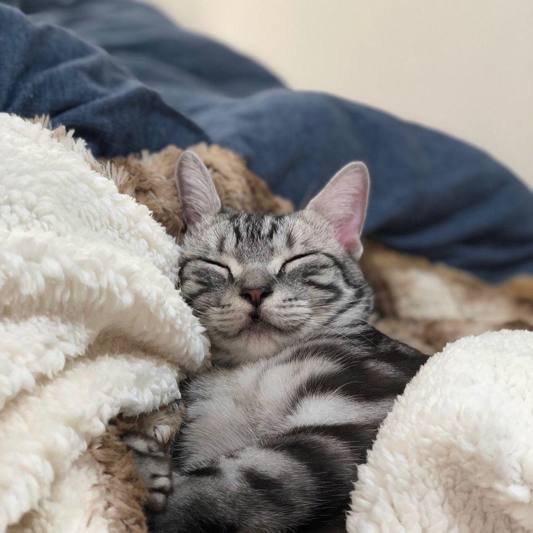 一緒の布団で寝ている猫