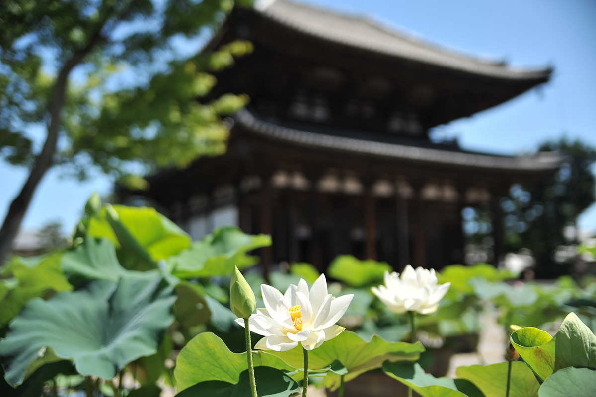 喜光寺の蓮の花